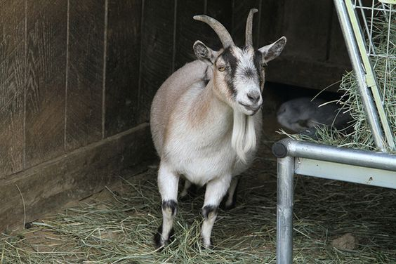 Now you can rent a lawn-trimming goat through Amazon! If you're in Seattle or CA. I so wish we had this in Chicago.
