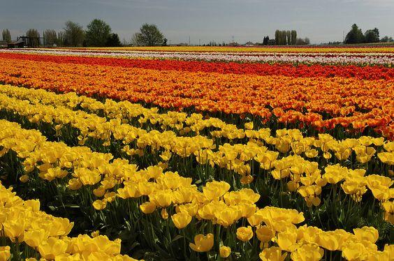 Tulip-Field; by mstoy
