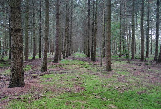 Wald nach Plan. Bäume in Reihe