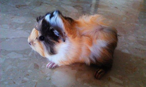 Colors, Guinea pig for sale and 1 month on Pinterest