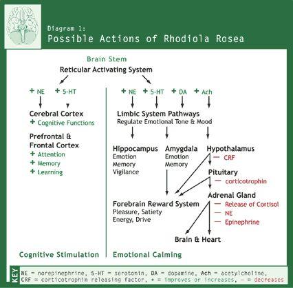Diagram 1: Possible Actions of Rhodiola Rosea
