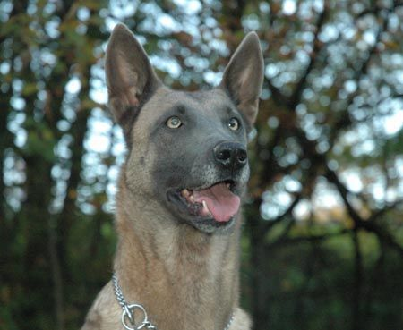 blue belgian malinois unusual colors and coats in dogs