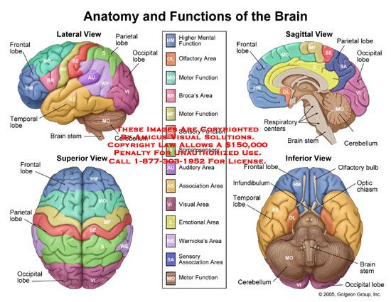 In this diagram it shows the different parts of the brain ...