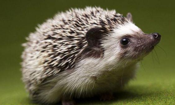В Великобритании количество ежей уменьшилось вдвое: что говорят ветеринары