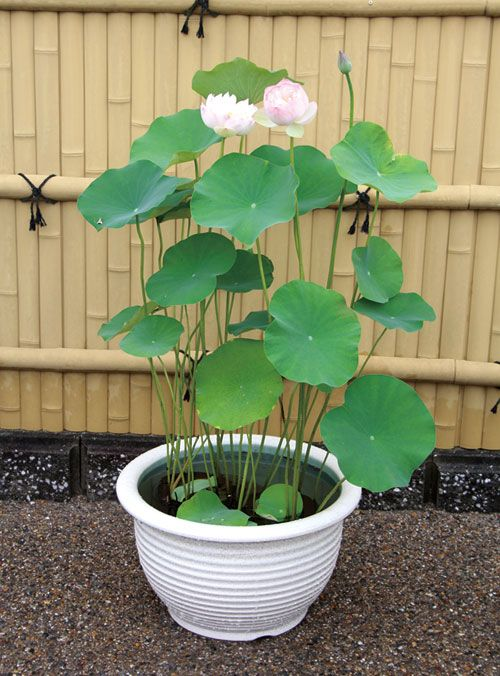 Large Pink Lotus Plant In A Container Pond Small Compact Space Water Gardens And Landscaping Ideas Co Container Water Gardens Plants Landscaping With Rocks