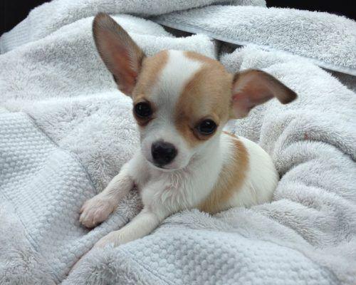 Teacup Chihuahua Chihuahua Puppies Chihuahua Chihuahua Puppies