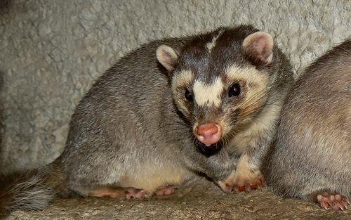 Vietnam Ferret-Badger