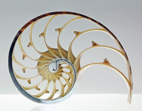 """""""The Golden Mean is represented by the Greek letter phi, (with the decimal representation of 1.6180...) is one of those mysterious natural numbers that seems to arise out of the basic structure of our cosmos. Phi appears regularly in the realm of things that grow and unfold in steps just as the Nautilus shell grows larger on each spiral by phi."""""""