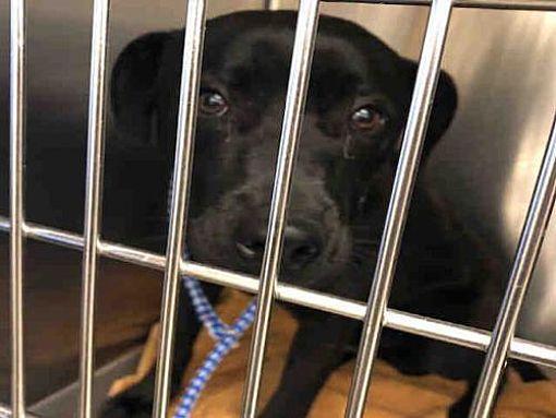 Austin Tx Labrador Retriever Meet Tupac A Dog For Adoption Dog Adoption Dogs Labrador Retriever