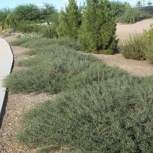 Desert Carpet Acacia Seeds Acacia Redolens Prostrata 20 Seeds Evergreen Shrubs Green Landscape Ground Cover