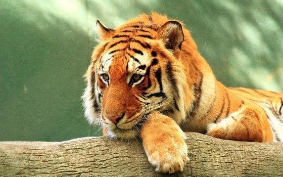 Download Wildlife Bengal Tiger Whiskers Golden Tiger Wallpaper