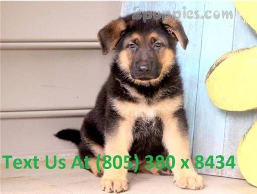 Find Your Dream Puppy Of The Right Dog Breed At Puppies For Sale