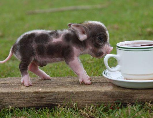 Instead of a teacup dog, I want to carry around a teacup pig.  Soooo cute!!