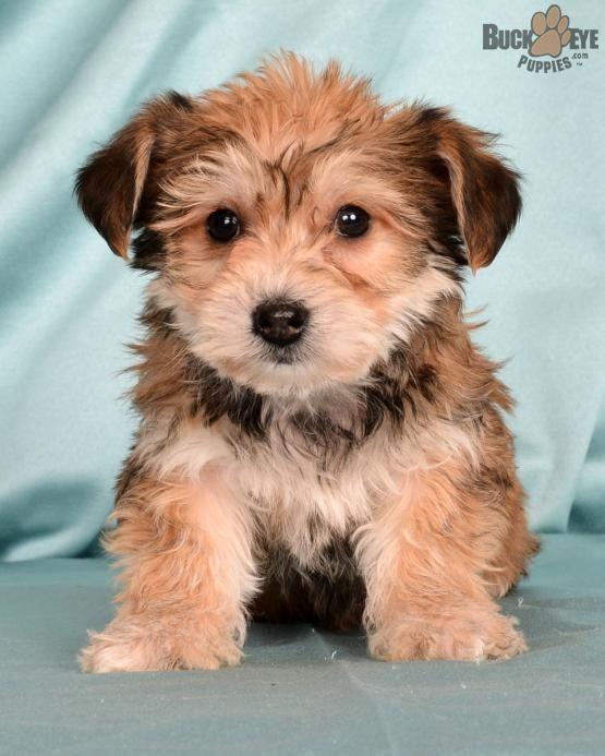 Yorkchon Yorkchonpuppy Puppiesofpinterest Pinterestpuppies