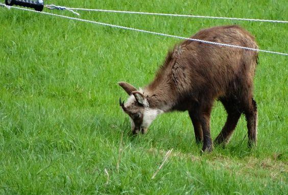 Jeune chamois savourant non seulement l'herbe, mais aussi sa première victoire sur l'hiver. mai 2013