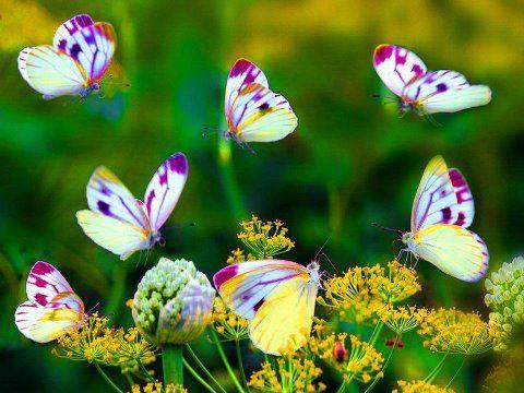 Papillons: