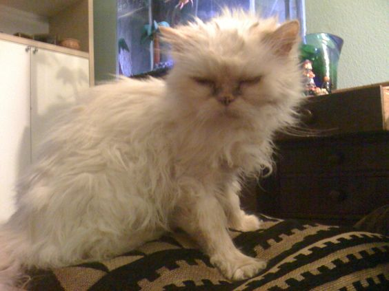 20 year old persian cat