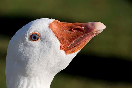 Birds with human teeth