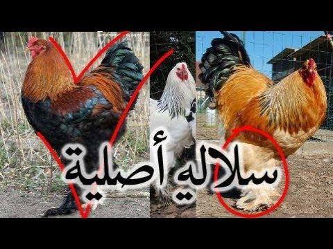 تربية الدجاج مميزات دجاج البراهمة الأصلي السلالة النقية Youtube Animals Rooster