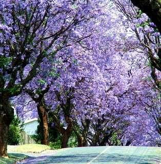 Jacaranda la jacaranda es un rbol caducifolio de r pido for Arboles perennes de crecimiento rapido en argentina
