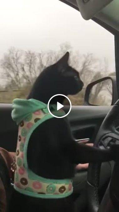 O gato fazendo aula de direção, veja só como ele é atento kkk