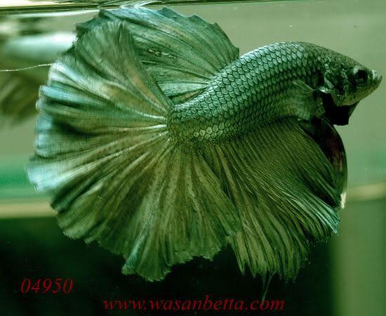 Explore eaglebetta 39 s photos on photobucket beautiful for Order betta fish