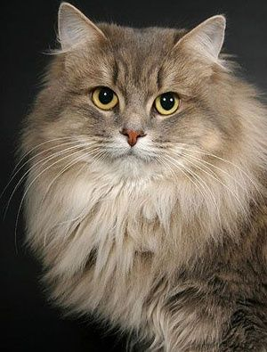 Siberian Cat.       So pretty