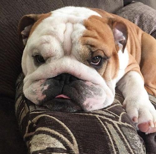Bulldogs Omg English Bulldog Puppies Bulldog Puppies Cute Dogs