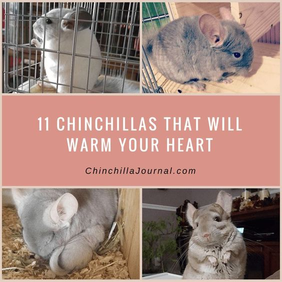 11 Chinchillas That Will Warm Your Heart