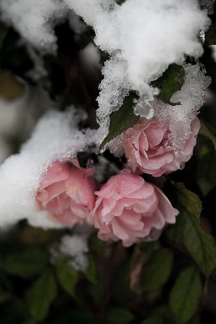 Iphone 5 wallpaper winter rose winter pinterest - Rose in snow wallpaper ...