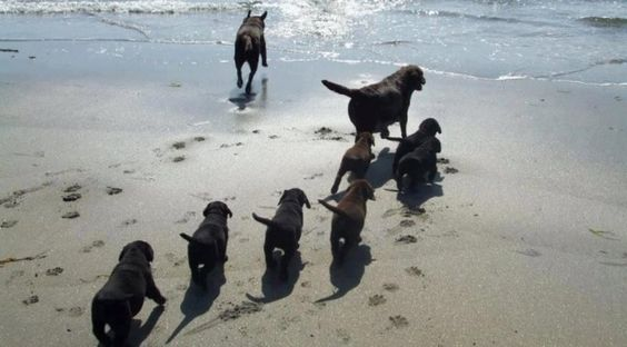 Puppies follow mum as a pack