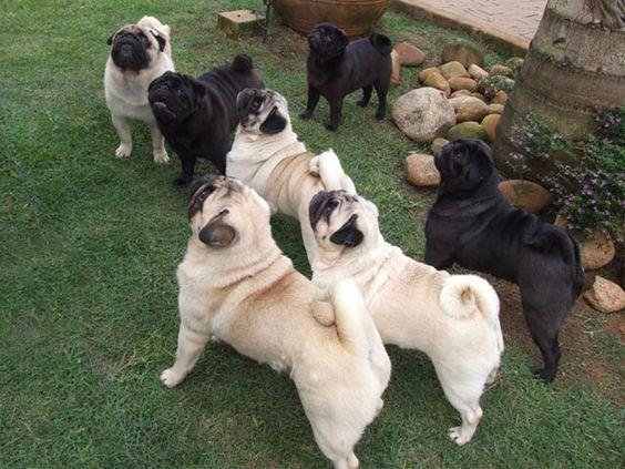 pugs *-*~