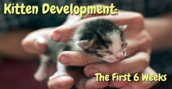 Kitten Development The First 6 Weeks Playful Kitty Newborn