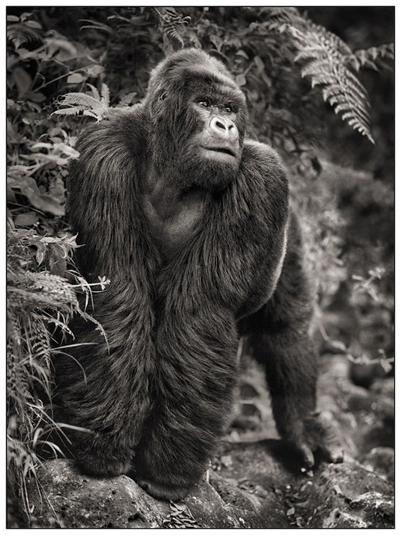 Photos nick brandt gorille