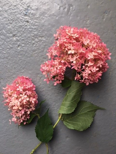 English Hydrangea Annabelle Pink Rfc Hampshire Grown Peonies And Hydrangeas Flower Aesthetic Peonies Background