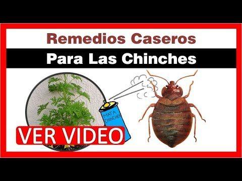 Remedios Caseros Para Las Chinches Chinches De Cama Como