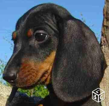 adorable chiot teckel poils ras lof animaux nord teckel doxie pinterest. Black Bedroom Furniture Sets. Home Design Ideas