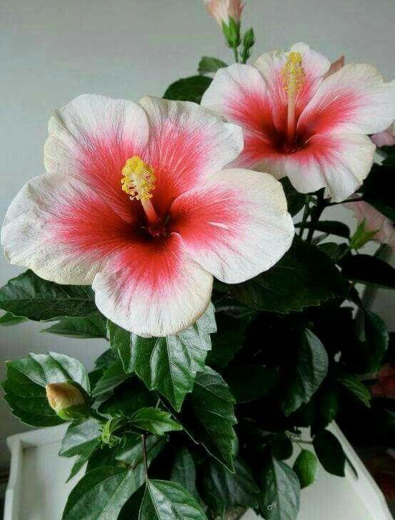 Hibiscus Flower Benefits In Hindi Hibiscus Hibiscus Flower Drawing Growing Hibiscus Hibiscus Flowers