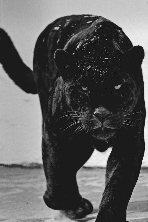 Black Panther Animal Wallpaper Hd Beautiful Black Panther Hd