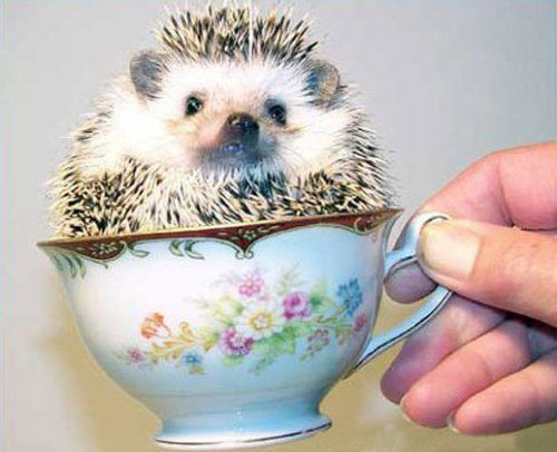 Hedgehog in a teacup: