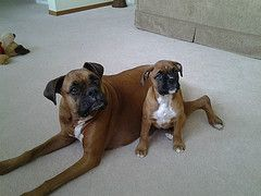 Jayda and Allie (boxer dogs)