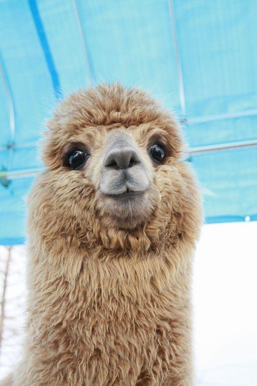 Alpaca To Brighten Up A Monday Morning Omg Its Soooooooooo Cute