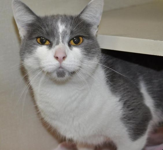 VERY BEAUTIFUL  UNIQUE FACE! EXTRA CUDDLY, LOVES ATTENTION! Stella is a very dainty blue and white who's quite cuddly. This sweet girl has stunning pumpkin orange eyes, a pink nose, and is usually talkative. She has a very slender build and has...