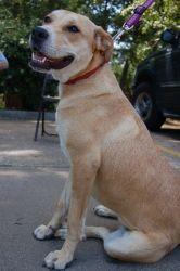 Tippy is an adoptable Yellow Labrador Retriever Dog in Humble, TX. Hi, my name is Tippy. I am a friendly, active young girl of about 9 months. I weigh approximately 40 pounds. I was rescued from a bus...