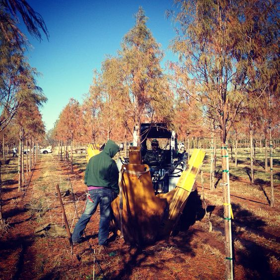 Skidsteer digging some Bald Cypress at #dftrees