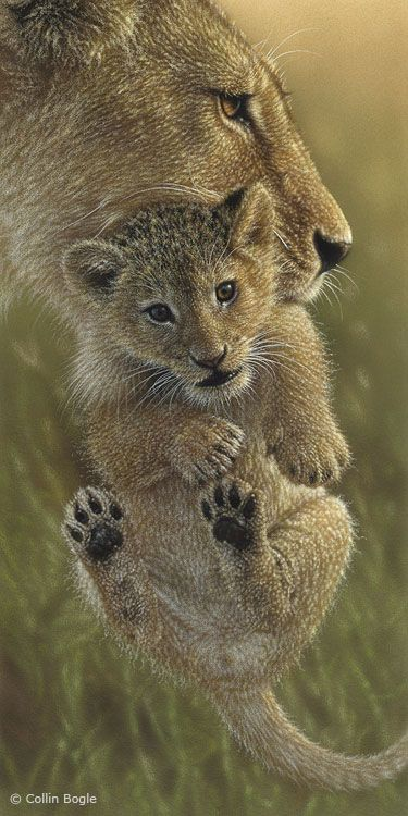 ~~lioness carrying her lion cub by Collin Bogle~~