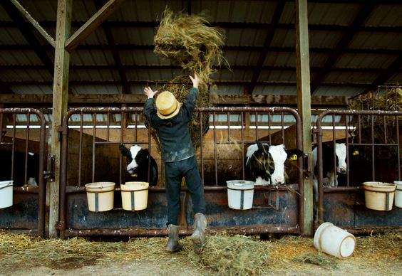 Amish Kids Living On Traditional Farms Less Likely To Develop ...