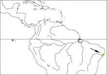 Alagoas Antwren (Myrmotherula snowi)