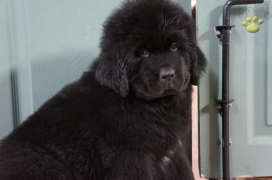Frank Martin Newfoundland Puppy For Sale In Pottstown Pa