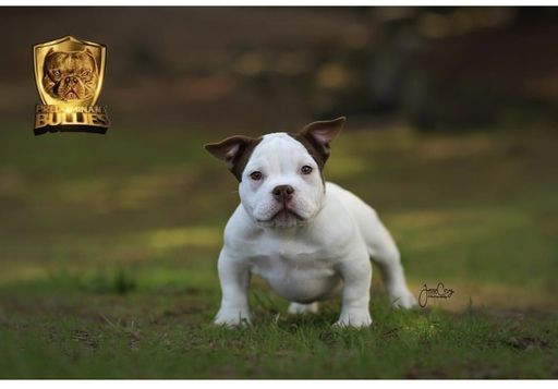 Litter Of 2 American Bully Puppies For Sale In Fresno Ca Adn
